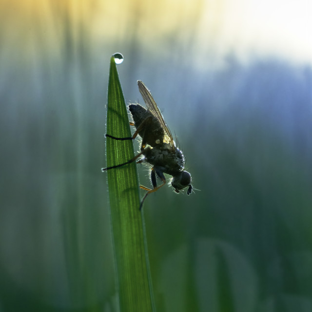 """""""House Fly resting on blade of grass"""" stock image"""