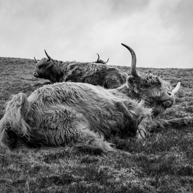 """Three Highland Cows"" stock image"