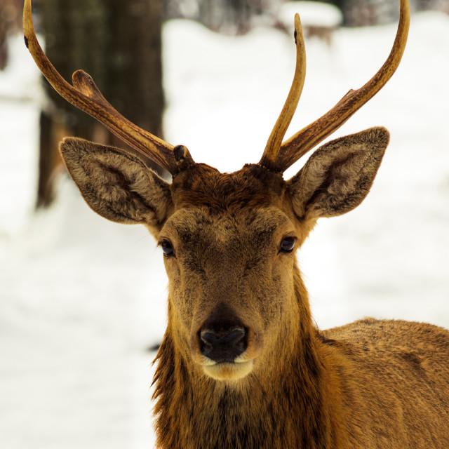 """Portrait of a Deer"" stock image"