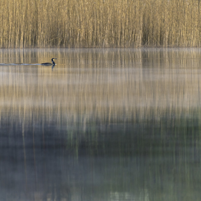 """""""Cormorant on lake with background of reeds"""" stock image"""