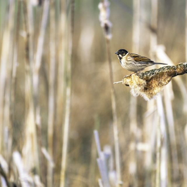 """""""Reed Bunting perched on bulrush"""" stock image"""