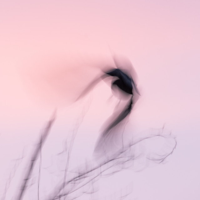 """""""Afterglow Crow"""" stock image"""
