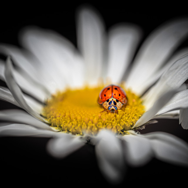 """The Ladybird"" stock image"