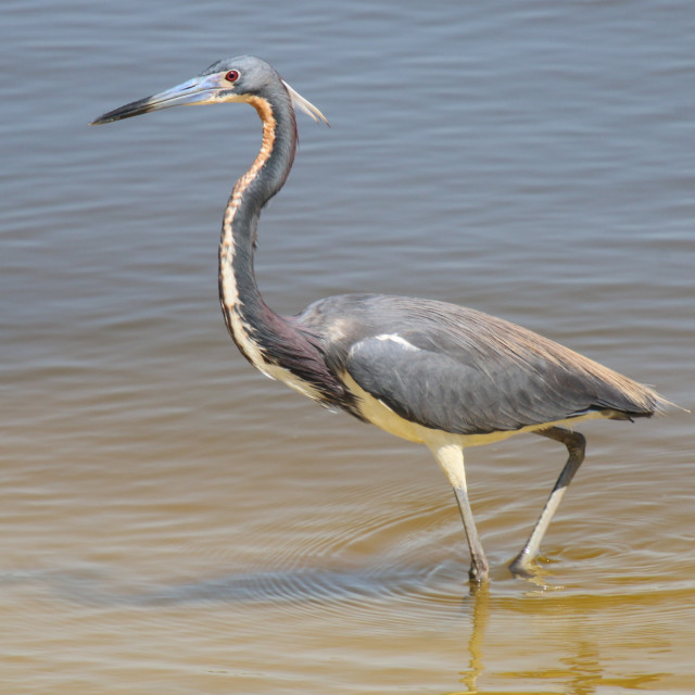 """Young Blue Heron Wading At The Beach"" stock image"