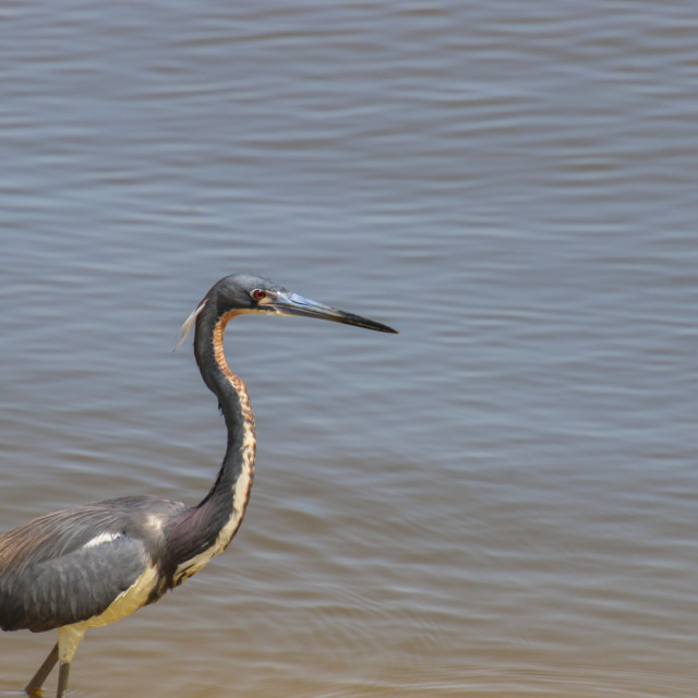 """""""Blue Heron High Resolution Bathed In Sunlight"""" stock image"""