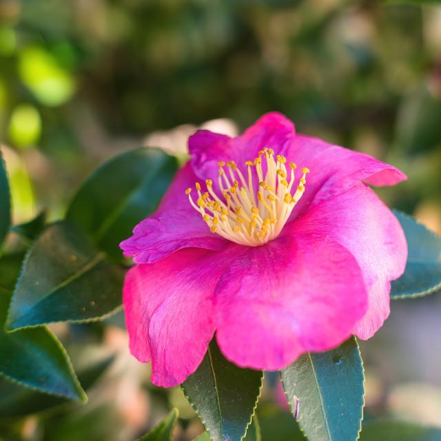 """The camellia under the autumn sun"" stock image"