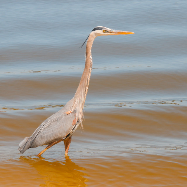 """""""Tall Neck Stretched Blue Heron Wades In Golden Blue Waters"""" stock image"""