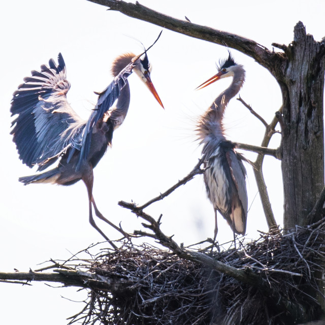 """Great blue heron nesting"" stock image"
