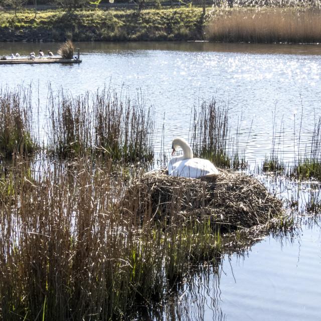 """Swan Nest"" stock image"