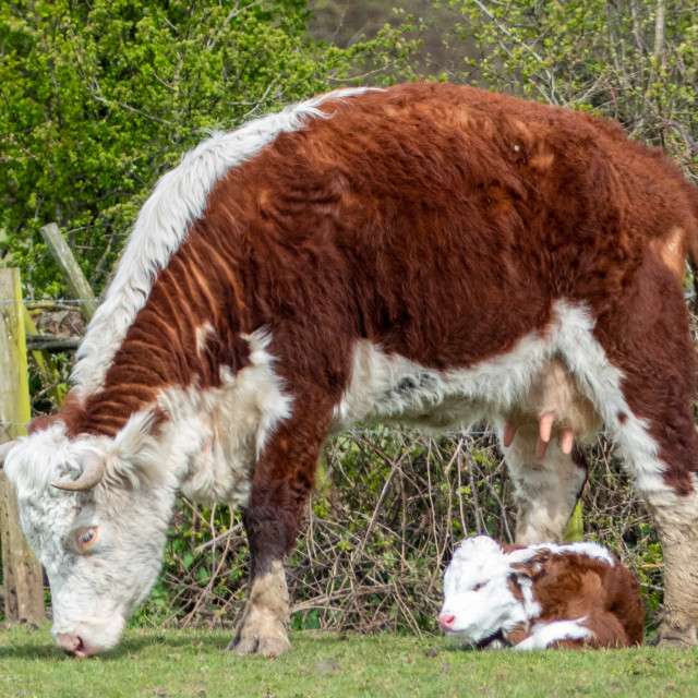 """""""Hereford cow and calf"""" stock image"""