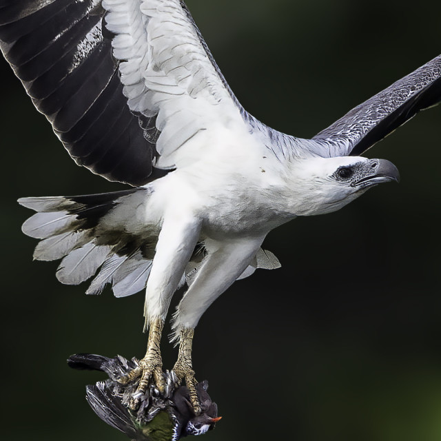 """""""Emerald dove became white bellied sea eagle meal"""" stock image"""