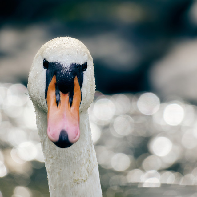 """Stunning mute swan detail in the backlight"" stock image"