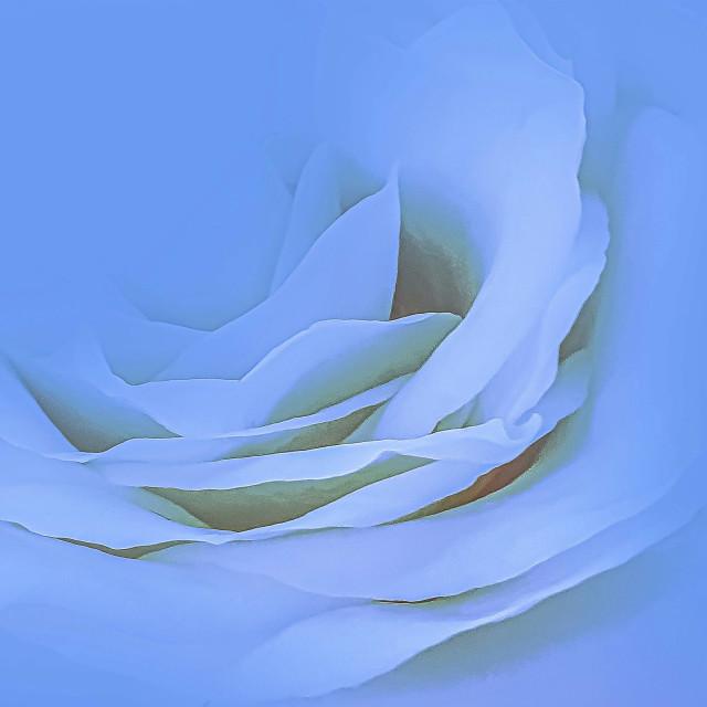 """White Rose"" stock image"