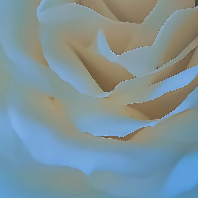 """A Single White Rose"" stock image"
