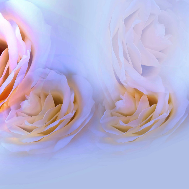 """White Roses"" stock image"