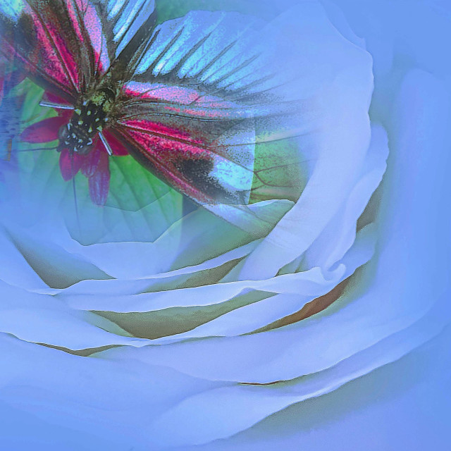 """""""White Rose with a Butterfly"""" stock image"""