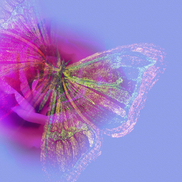 """""""A Pink Rose and a Butterfly"""" stock image"""