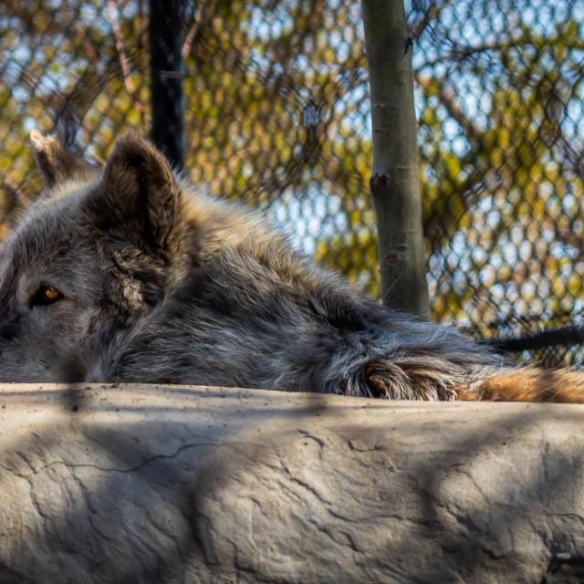 """Wolf close up"" stock image"
