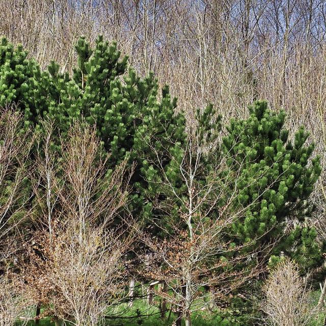 """Vibrant Fir Trees"" stock image"