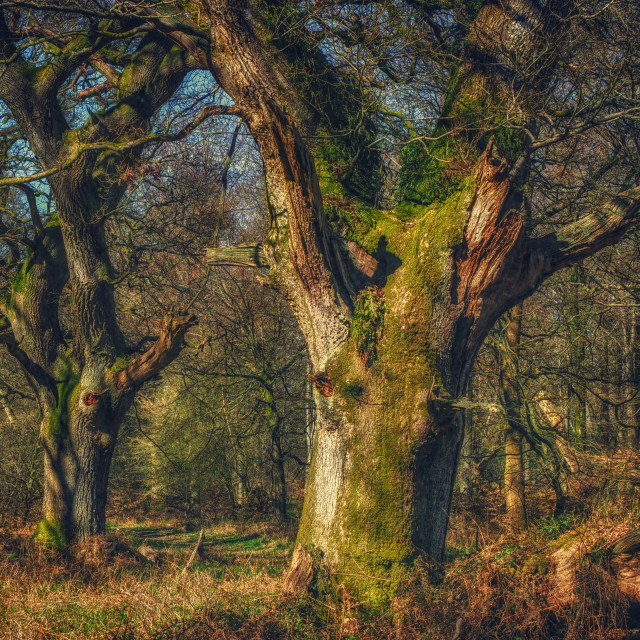 """""""Trees With Faces - Savernake Forest, Wiltshire, England"""" stock image"""