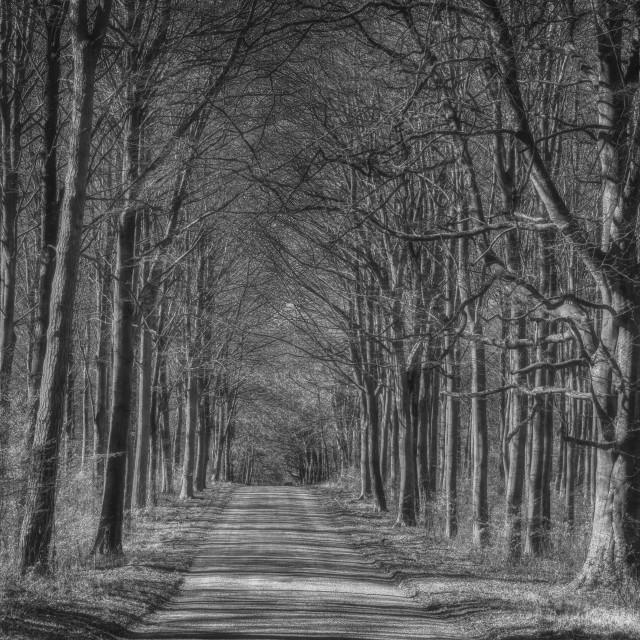 """""""The Grand Avenue - Savernake Forest, Wiltshire, England"""" stock image"""