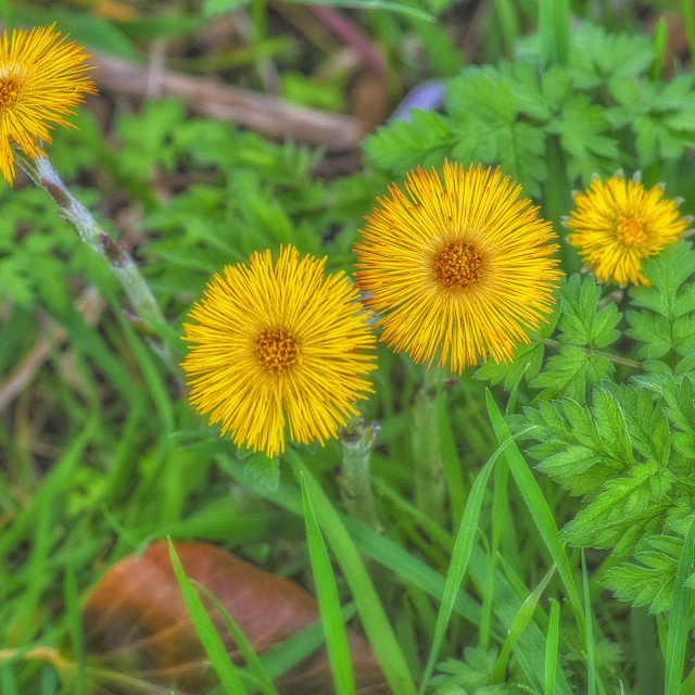 """""""Coltsfoot"""" stock image"""