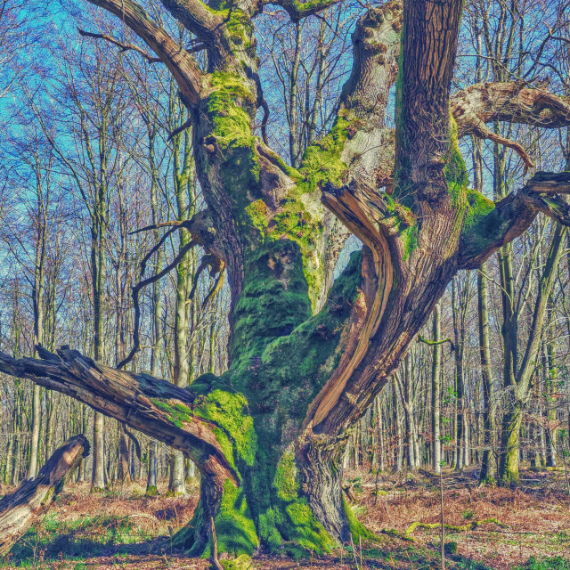 """""""A Coat Of Moss - Savernake Forest, Wiltshire, England"""" stock image"""