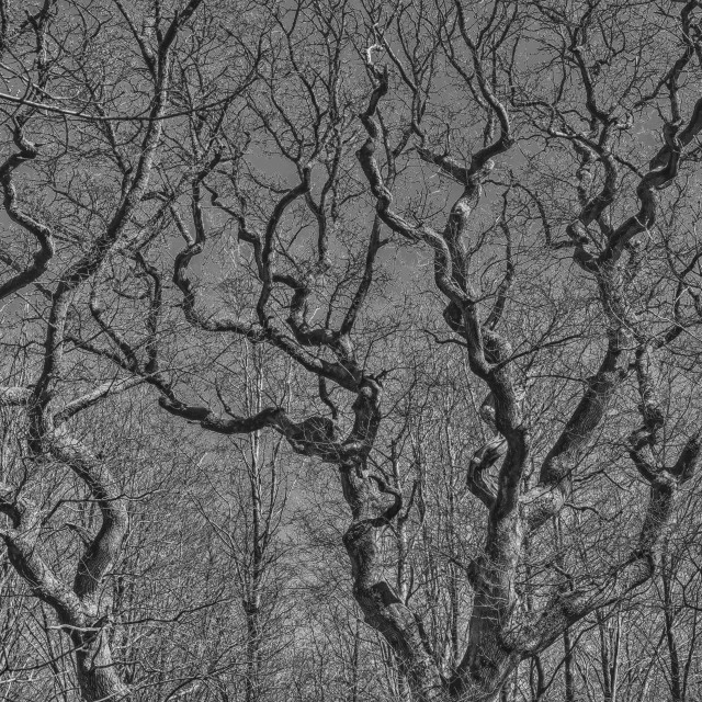 """""""Wriggly Branches - Savernake Forest, Wiltshire, England"""" stock image"""