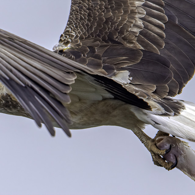"""""""Juvenile white bellied sea eagle with a big fish"""" stock image"""