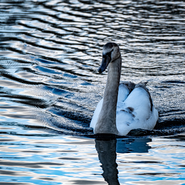 """""""Cygnet swimming in the water park."""" stock image"""