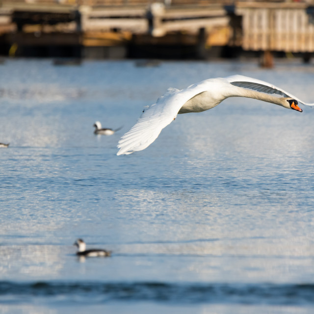"""Mute Swan Flying Past Long-Tailed Ducks"" stock image"