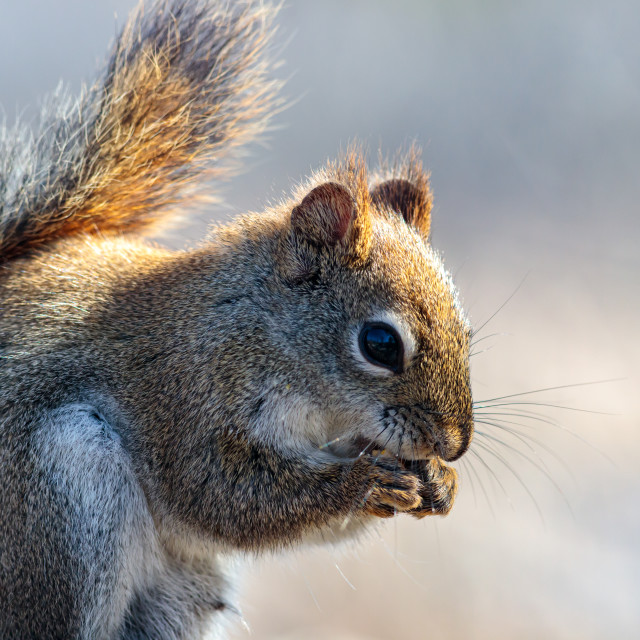 """""""Red squirrel nibbling, tinged with golden light"""" stock image"""