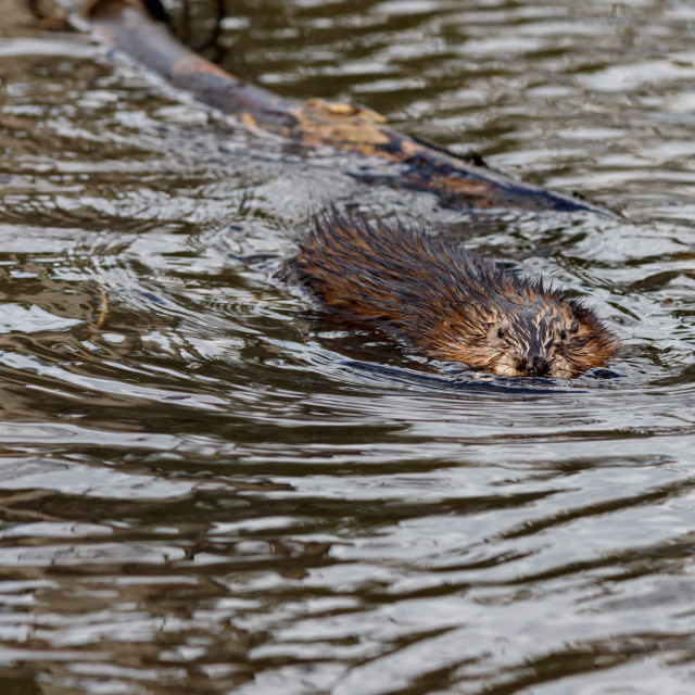 """Muskrat swimming in lake water"" stock image"