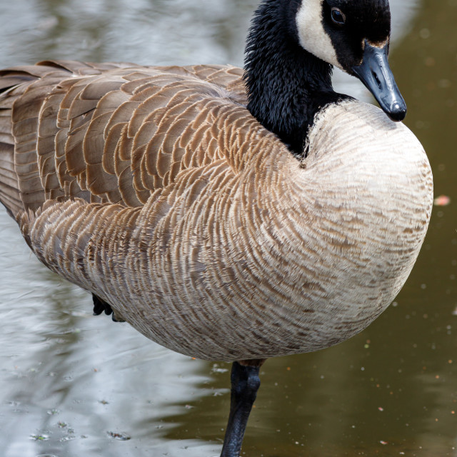 """""""Canada goose standing on one leg in the water"""" stock image"""
