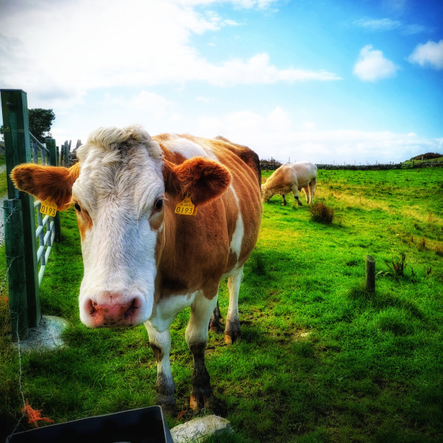 """""""Curious cow 2"""" stock image"""