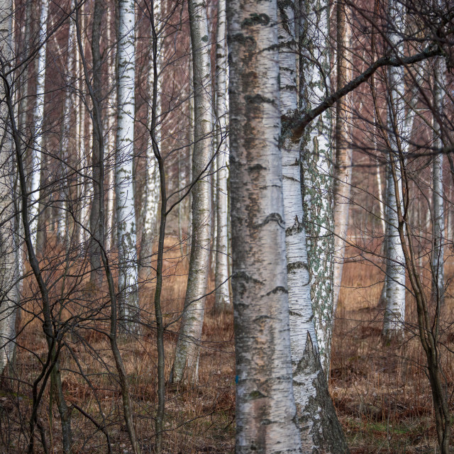 """""""Birch forest"""" stock image"""