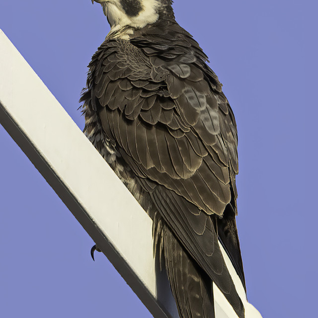"""""""Like the back view of this peregrine falcon"""" stock image"""