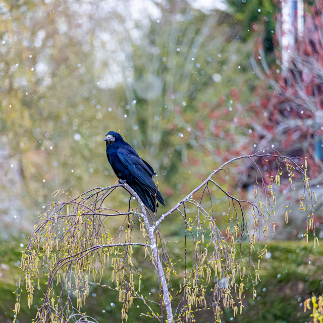 """""""Black Crow in a Tree with Snow"""" stock image"""