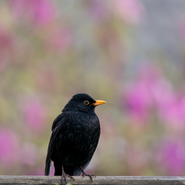 """Blackbird on a fence"" stock image"