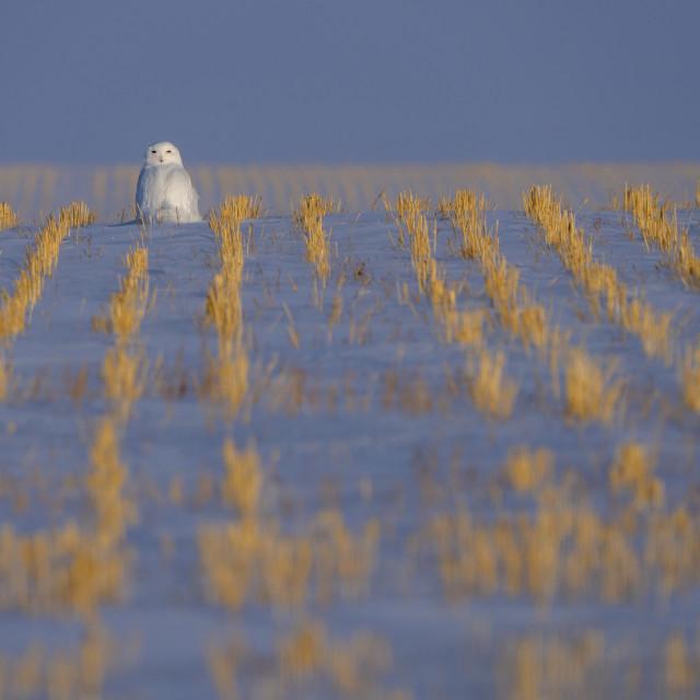 """Snowy Owl WInter"" stock image"