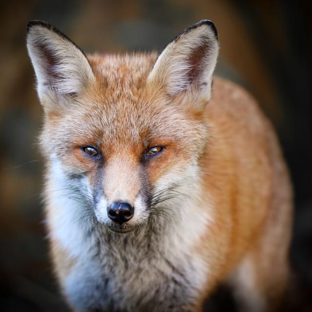 """""""Cluey the fox #1"""" stock image"""