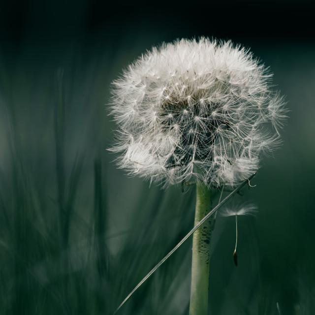 """Dandelion seed head."" stock image"