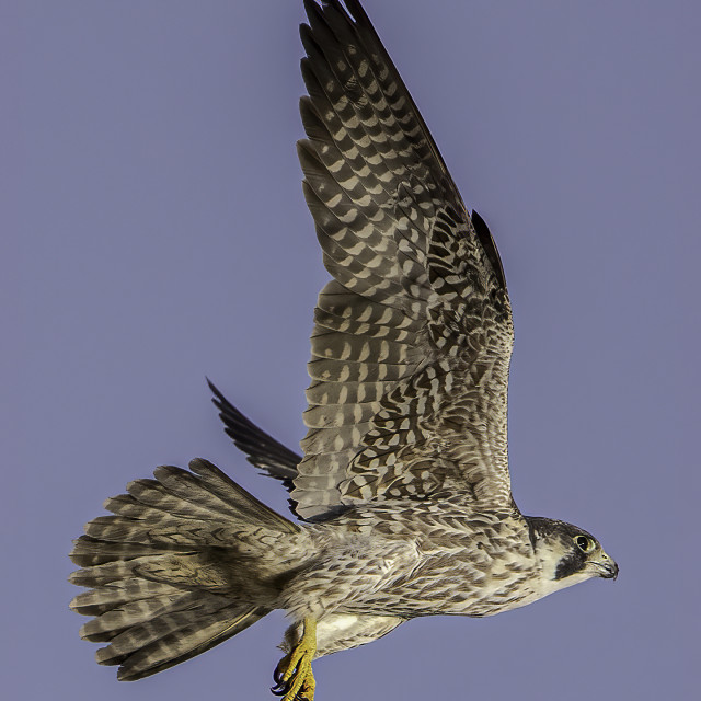 """""""Peregrine falcon in hunting mode"""" stock image"""