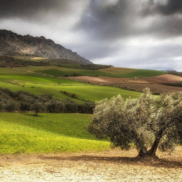 """""""Andalusia Olive Tree"""" stock image"""