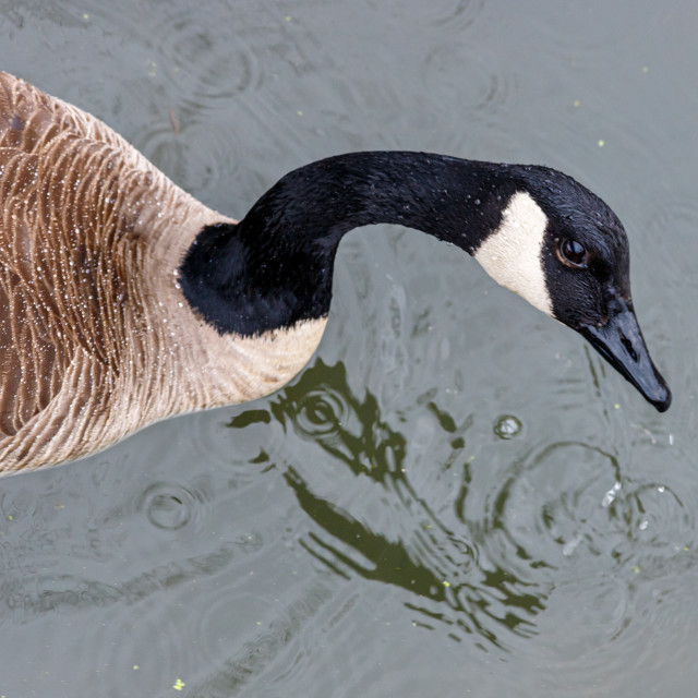 """""""Overhead view of a Canada goose looking up"""" stock image"""