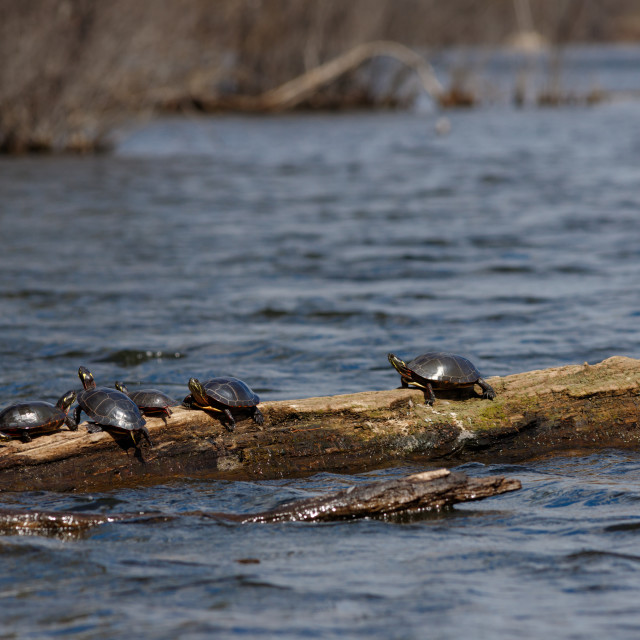 """""""Six turtles basking in the sun on a log"""" stock image"""