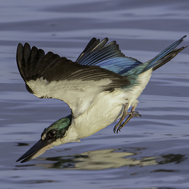 """""""Collared kingfisher dive"""" stock image"""