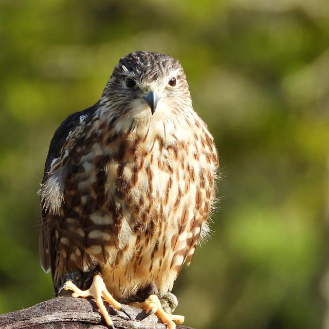 """Birds of Prey Series - Merlin I"" stock image"