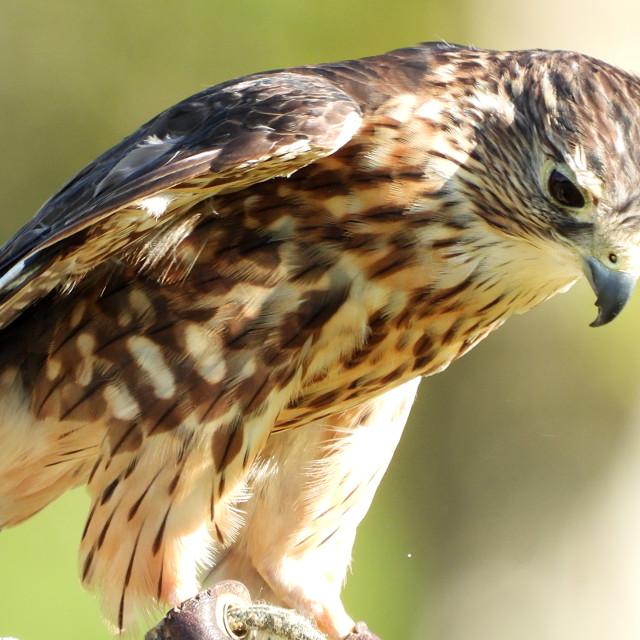 """""""Birds of Prey Series - Merlin III"""" stock image"""