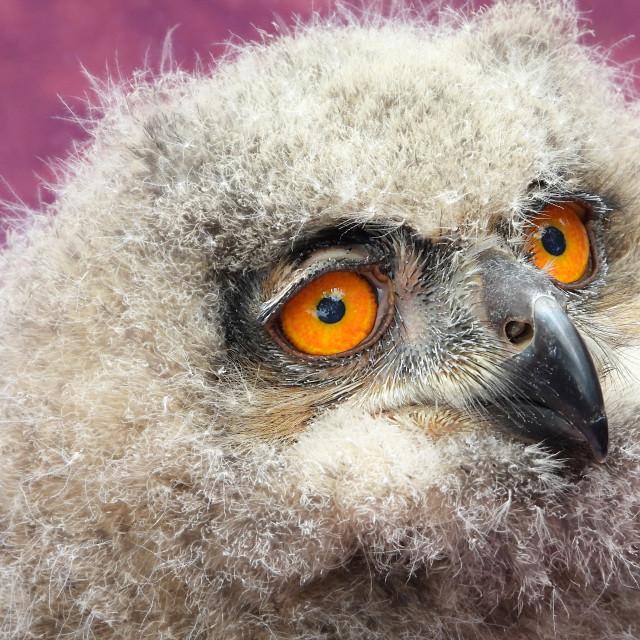 """Birds of Prey Series - Baby Eurasian Eagle Owl I"" stock image"